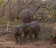 使用在大草原的一个徒步旅行队期间的婴孩大象 免版税库存照片