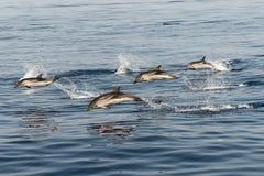 使用在天空中的镶边海豚 免版税图库摄影