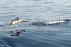 使用在天空中的镶边海豚 免版税库存照片
