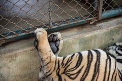 使用在它的笼子的老虎 免版税库存图片