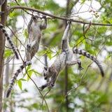 使用在密林的两只幼小环纹尾的狐猴 库存照片