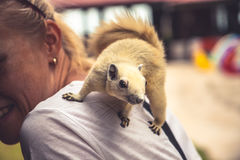 使用在少妇肩膀的好奇灰鼠 库存照片