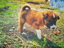 使用在庭院农舍的逗人喜爱的小狗 图库摄影