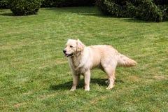 使用在庭院里和搜寻球的逗人喜爱的金毛猎犬 免版税库存照片