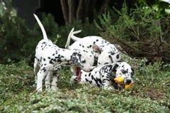 使用在庭院里的达尔马希亚小狗 免版税库存图片