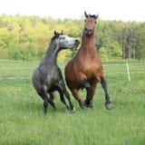 使用在新鲜的草的两匹惊人的马 免版税库存图片