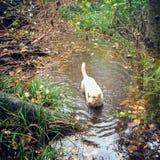 使用在新鲜的雨水池塘的黄色实验室小狗在森林里 库存图片
