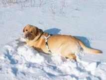 使用在新鲜的雪的一条幼小公拉布拉多retriver狗 库存照片