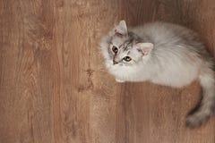 使用在木地板上的一只蓬松猫 图库摄影