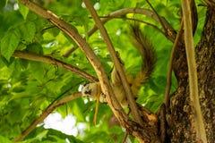 使用在树枝的Finlayson的灰鼠在曼谷市公园 免版税库存照片