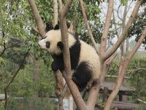 使用在树的大熊猫崽 免版税图库摄影