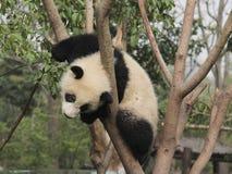 使用在树的大熊猫崽 免版税库存图片