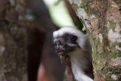 使用在树的棉花顶面绢毛猴 图库摄影
