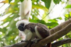 使用在树的棉花顶面绢毛猴 免版税库存图片