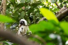 使用在树的棉花顶面绢毛猴 库存照片