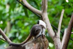 使用在树的棉花顶面绢毛猴 库存图片