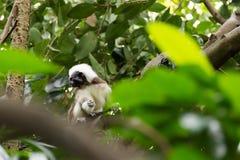 使用在树的棉花顶面绢毛猴 免版税库存照片