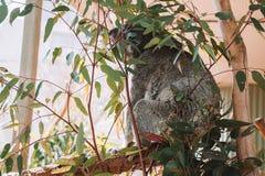 使用在树的逗人喜爱的考拉 免版税库存图片