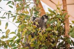 使用在树的逗人喜爱的考拉 库存照片