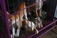 使用在桃红色笼子的橙色小猫 免版税库存照片