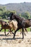 使用在槽枥的三匹马下午 免版税库存图片
