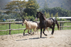 使用在槽枥的三匹马下午 图库摄影