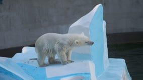 使用在水中的北极熊崽 股票视频