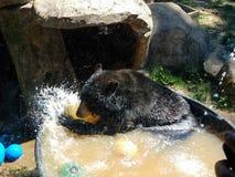 使用在水中的熊 库存图片