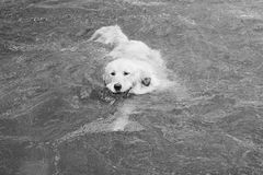 使用在水中的逗人喜爱的金毛猎犬 免版税库存图片