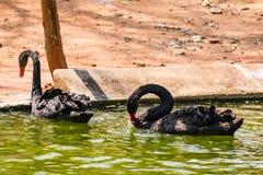 使用在水的一只黑夫妇天鹅在动物园 免版税库存图片