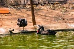 使用在水的一只黑夫妇天鹅在动物园 图库摄影