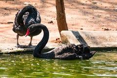 使用在水的一只黑夫妇天鹅在动物园 免版税图库摄影