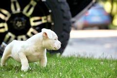 使用在汽车的背景的草的逗人喜爱的小狗 第一步生活,动物,新的概念 免版税图库摄影
