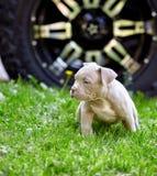 使用在汽车的背景的草的逗人喜爱的小狗 第一步生活,动物,新的概念 免版税库存照片