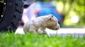 使用在汽车的背景的草的逗人喜爱的小狗 第一步生活,动物,新的概念 免版税库存图片