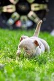 使用在汽车的背景的草的逗人喜爱的小狗 第一步生活,动物,新的概念 库存图片
