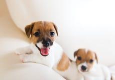 使用在沙发的两只逗人喜爱的小狗 免版税库存照片