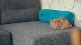 使用在沙发的红色猫 股票视频