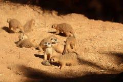 使用在沙子II的Meerkats 库存图片