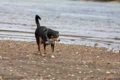 使用在河的幼小appenzeller山狗 库存图片