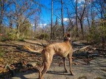 使用在河的狗 免版税库存图片