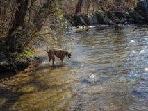 使用在河的狗 库存图片