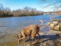 使用在河的狗 免版税库存照片