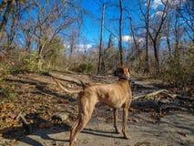 使用在河的狗 图库摄影