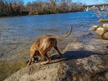 使用在河的狗 免版税图库摄影