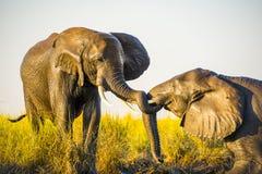 使用在泥的大象 免版税库存照片