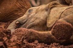 使用在泥的年轻大象在Sheldrick大象孤儿院在内罗毕(肯尼亚) 图库摄影