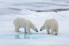使用在浮冰块的两头年轻狂放的北极熊 库存图片