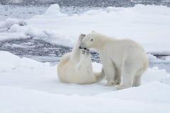 使用在浮冰块的两头年轻狂放的北极熊 免版税图库摄影