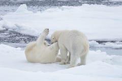 使用在浮冰块的两头年轻狂放的北极熊 库存照片